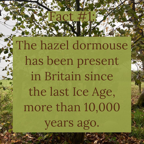 Facts about Hazeldormice