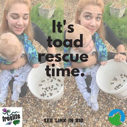 Summerleaze Toad Rescue