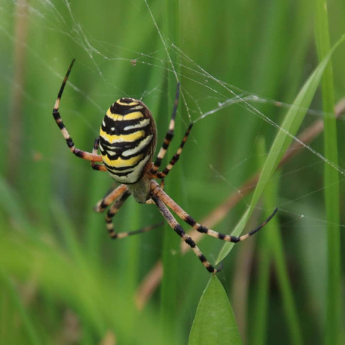Wasp Spider found in Battlemead