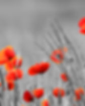 Red Poppy flowers with black and white b