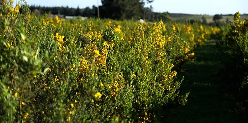 Honeybush.png