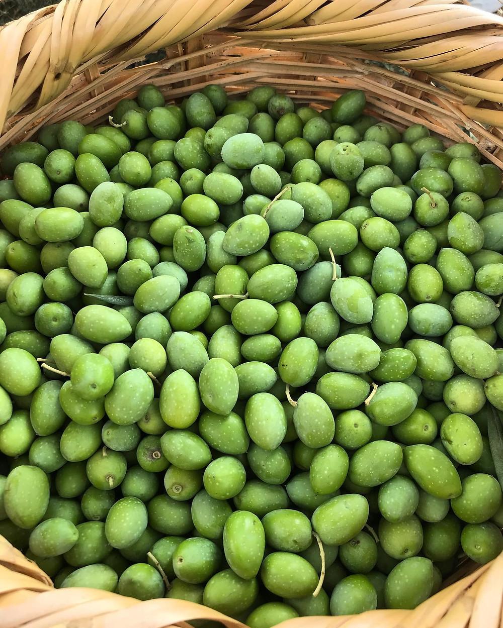 Lebanese Olive Harvest