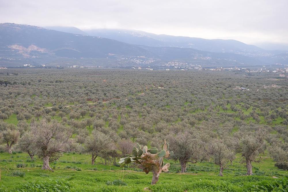 Oleavanti Qadisha Grove, Lebanon