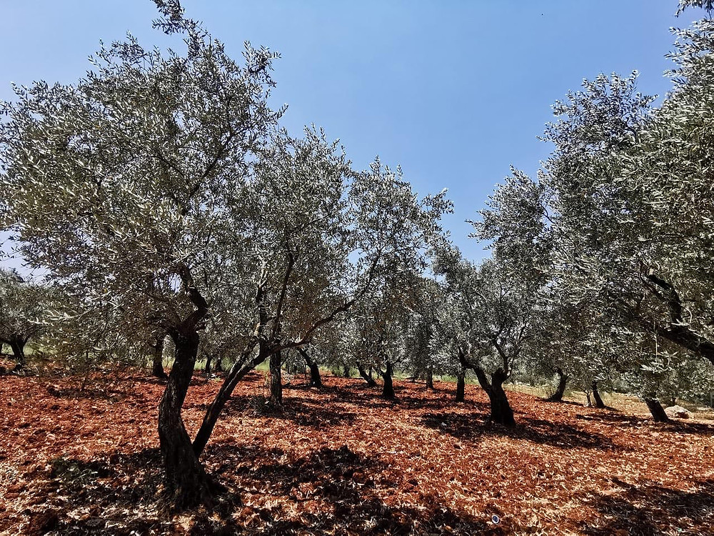 Organic Olive Groves in Lebanon