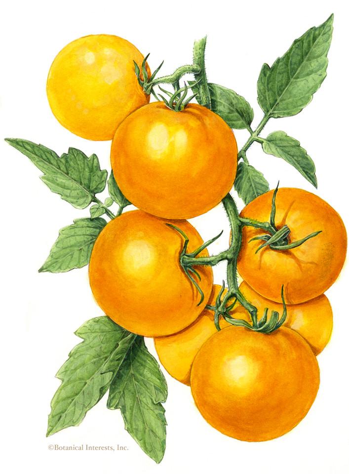 Golden Jubilee Pole Tomato