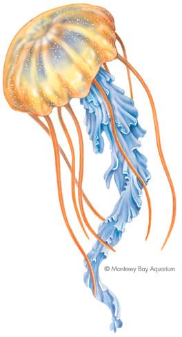 Jellyfish - Scyphomedusa