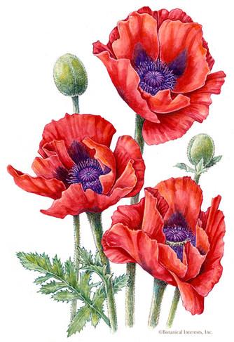 Beauty of Livermere Poppy