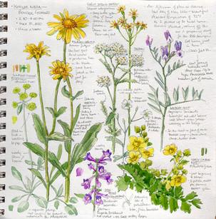 Colorado Summer Native Flowers
