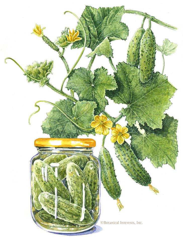 Parisian Gherkin Cucumber