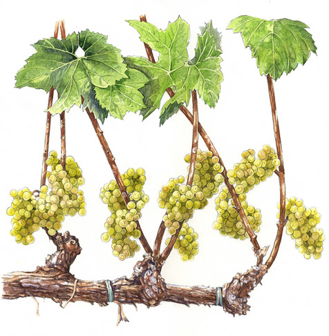 Grapevine Canes with Grapes Clusters