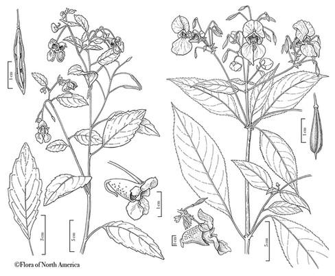 Impatiens: I. capensis, I.glandulifera