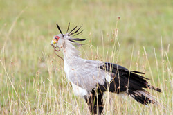 iStock-183840782 SECRETARY BIRD FINAL REDUCED