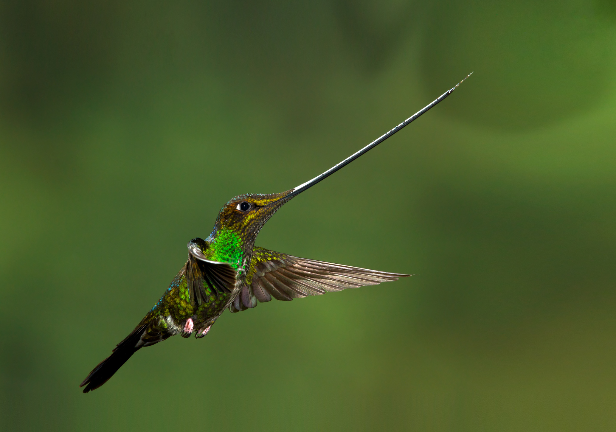 __SWORD TAILED HUMMINGBIRD