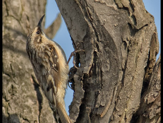 THE BROWN CREEPER. A MASTER OF CAMOUFLAGE.