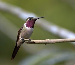 __AMETHYST WOODSTAR HUMMINGBIRD