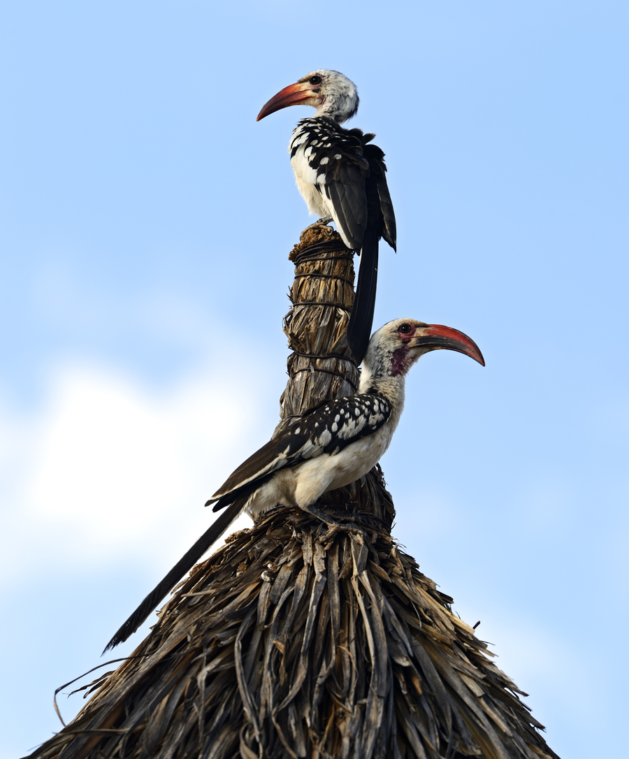 iStock-485732163 HORNBILL FINAL REDUCED