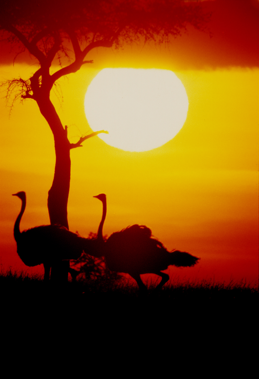 OSTRICH AT SUNSET