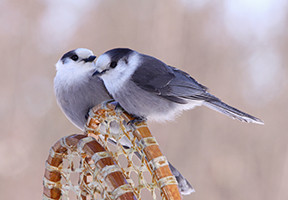 A NATIONAL BIRD FOR CANADA!