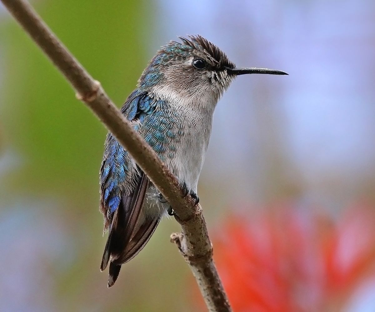 __BEE HUMMINGBIRD