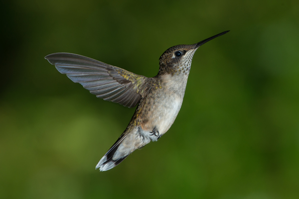 __RUBY THROATED HUMMINGBIRD 600X400