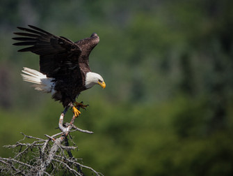 EAGLES CARRY HOW MUCH WEIGHT?