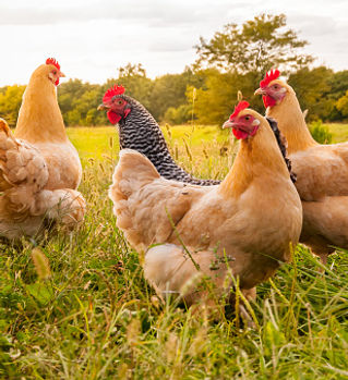 Pullets and Hens.jpg