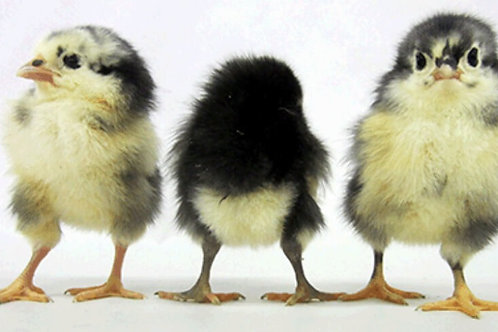 Australorp Day-Old