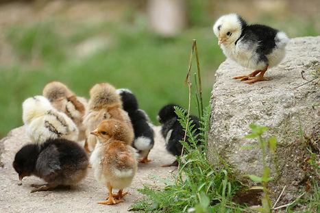 chick-2652695_1920.jpg