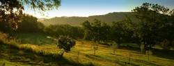Champs d'oliviers du domaine