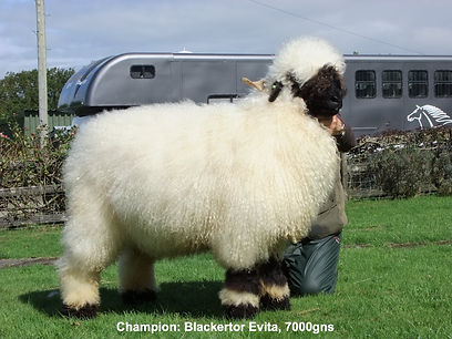 Valais Blacknose Sedgemoor Show and Sale