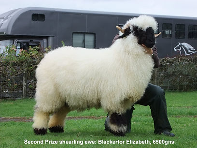 Sedgemoor Show and Sale second prize ewe