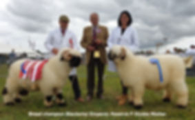 Dorset county show champion and reserve