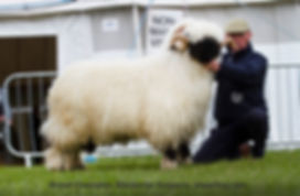 Devon%20County%20Breed%20champion%202019