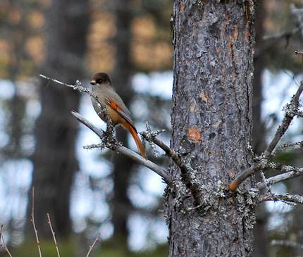 Storsjö-Prästgård fågelskådning, Lavskrika i skogsbrynet