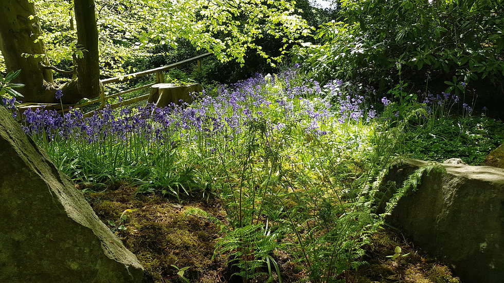 Patch of Bluebells.jpg