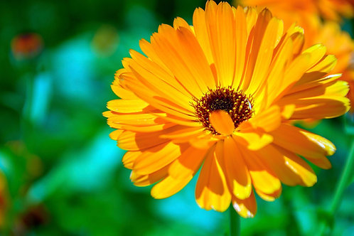 Calendula Flower Essence