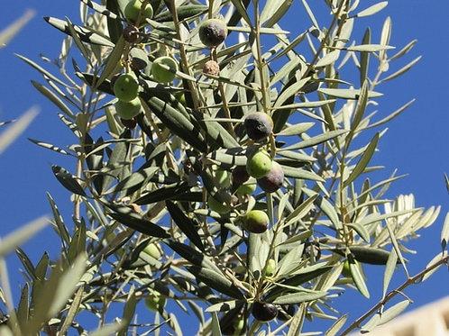 Usnea and Olive Leaf Tincture