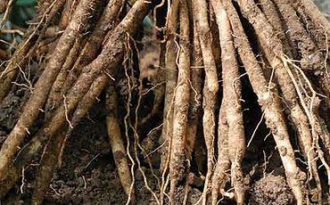 shatavari-root-crop-u3469.jpg
