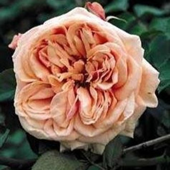 Tea Rose/Fairy Rose Flower Essence