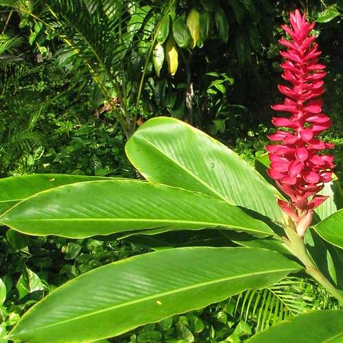 Red Ginger Flower Essence