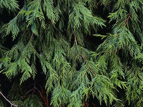 Tree Salve
