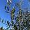 Thumbnail: Olive Leaf Tincture