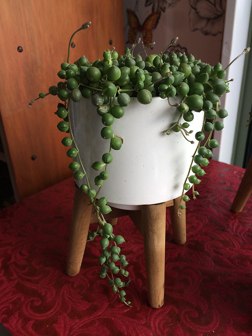 Strings of Pearl Plant Displayed in White Stand
