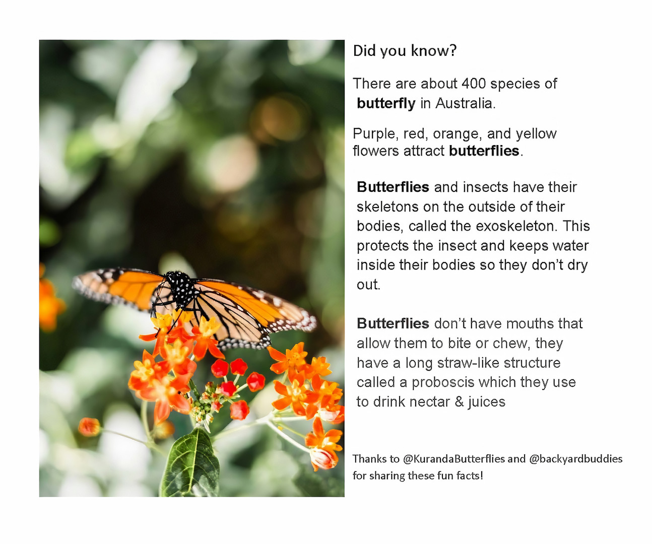 Butterfly Fact 2