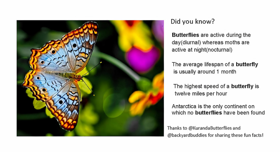 Butterfly Fact 1