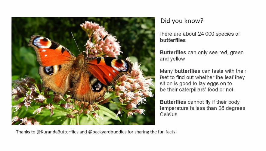 Butterfly Fact 3