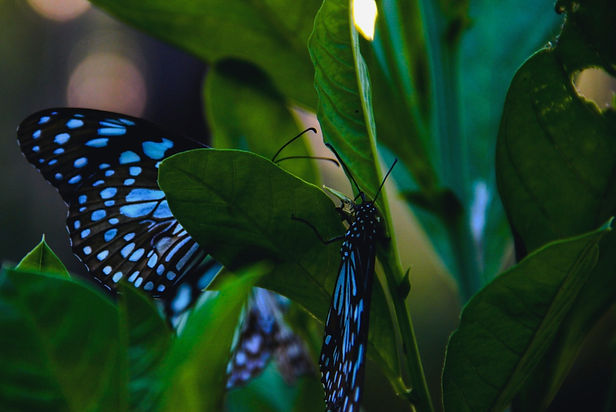 Blue%2525252520butterflies_edited_edited