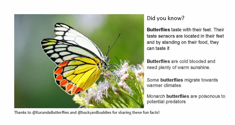 Butterfly Fact 4