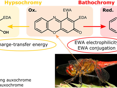 Electronic coupling in the reduced state lies at the origin of color changes of ommochromes
