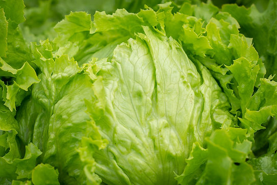 Lettuce, iceberg (includes crisphead types), raw